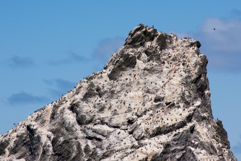 Colonia dei cormorani su roccia in mare antartico immagine stock libera da diritti