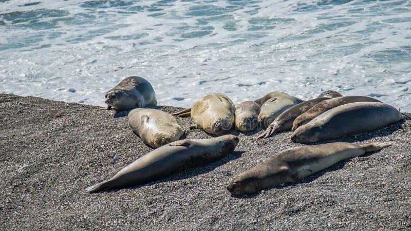 Colonia dei leoni marini e delle guarnizioni di elefante alla penisola Valdes, Pata immagine stock