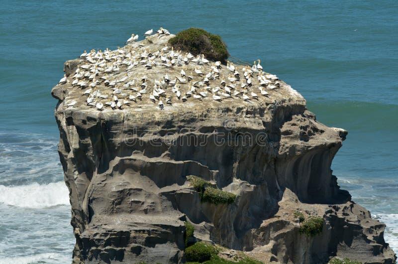 Colonia del gannet de Muriwai - Nueva Zelanda imágenes de archivo libres de regalías