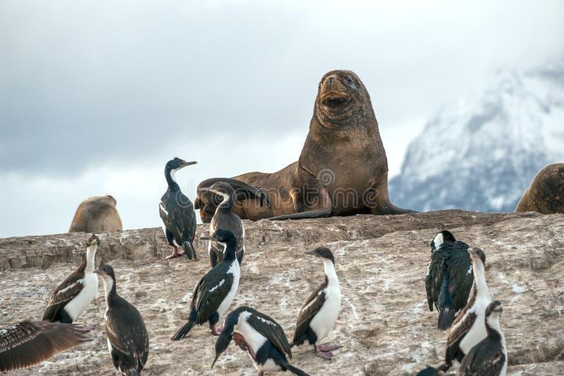 Colonia del león marino y de rey Cormorant, Tierra del Fuego, la Argentina - Chile imagen de archivo libre de regalías