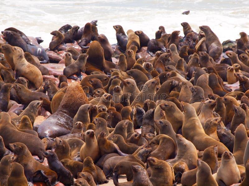 Colonia del lobo marino de Brown (pusillus del Arctocephalus) imagenes de archivo