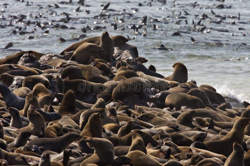 Colonia del lobo marino del cabo en Namibia foto de archivo