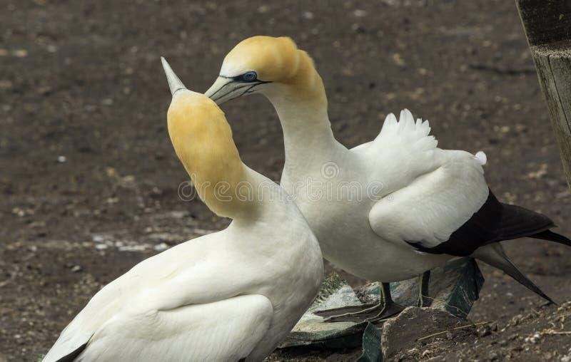 Colonia del pájaro de Gannet en la playa Auckland Nueva Zelanda de Muriwai fotografía de archivo