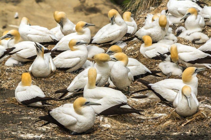 Colonia del pájaro de Gannet en la playa Auckland Nueva Zelanda de Muriwai foto de archivo libre de regalías