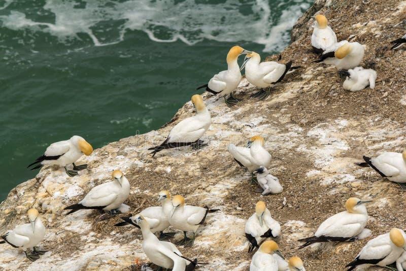 Colonia del pájaro de Gannet en la playa Auckland Nueva Zelanda de Muriwai fotografía de archivo libre de regalías
