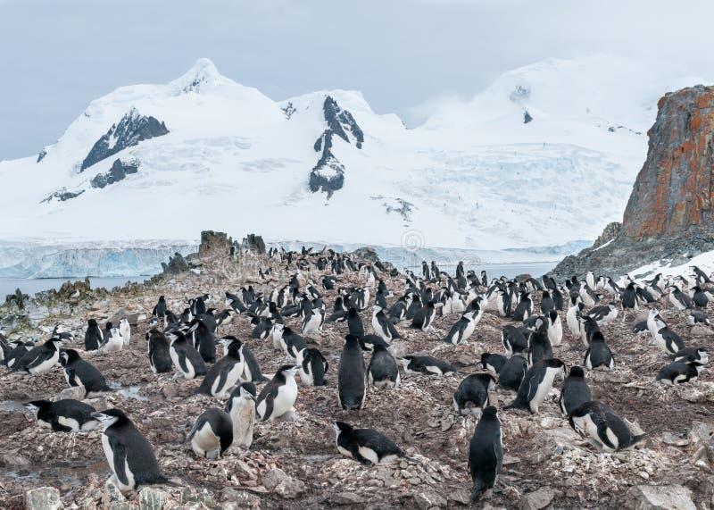 Colonia del pingüino de Chinstrap de la jerarquización, isla de la media luna, península antártica imagen de archivo libre de regalías