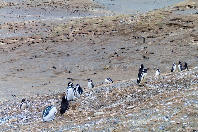 Colonia del pingüino de Magellan fotos de archivo