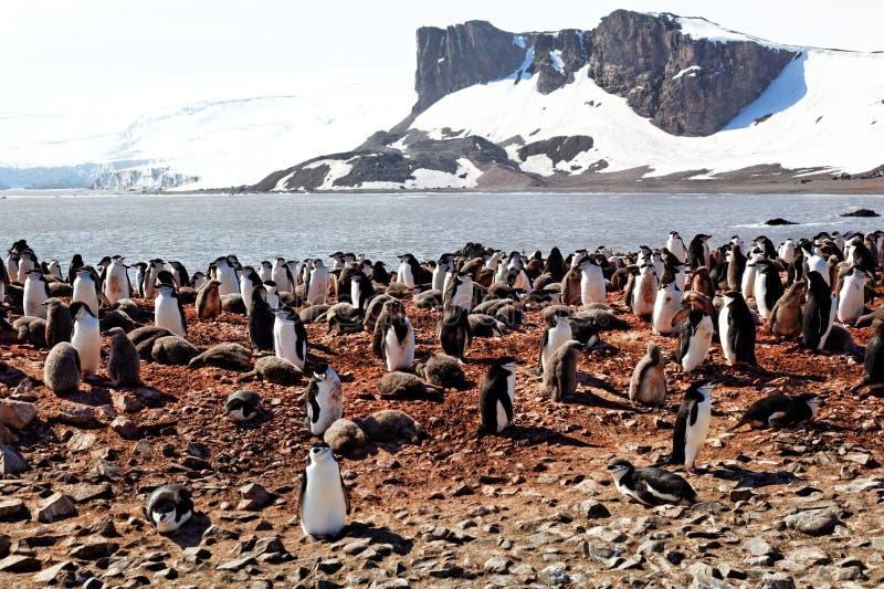 Colonia del pinguino di Chinstrap in Antartide fotografia stock libera da diritti