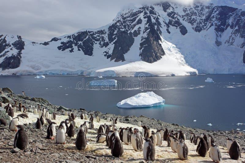 Colonia del pinguino di Gentoo, Antartide immagine stock libera da diritti
