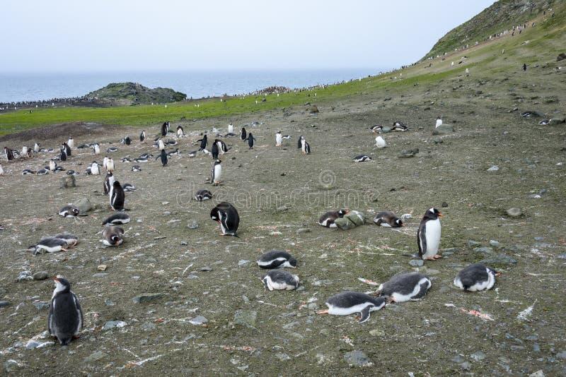 Colonia del pinguino di Gentoo con un certo sonno degli adulti e dei pulcini e l'altra condizione su, oceano e cielo nel fondo, i immagine stock
