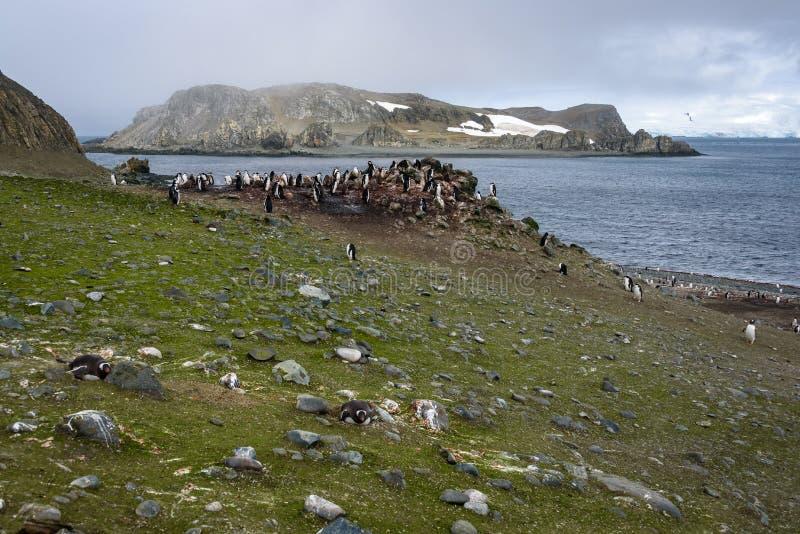 Colonia del pinguino di Gentoo coperta in alghe verdi di altri isola, oceano e cielo nel fondo, isole di Aitcho, Shetland del sud immagini stock