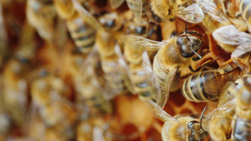 Colonia delle api sul lavoro nell'alveare Prodotti utili e concetto della medicina alternativa fotografie stock