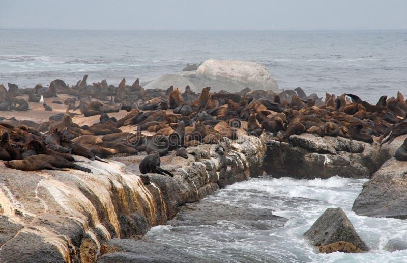 Colonia delle guarnizioni di pelliccia selvagge (Sudafrica) fotografia stock