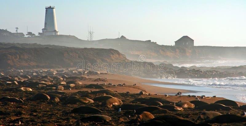 Colonia di foche degli elefanti su San Simeon Beach vicino al faro sulla linea costiera centrale di California fotografie stock