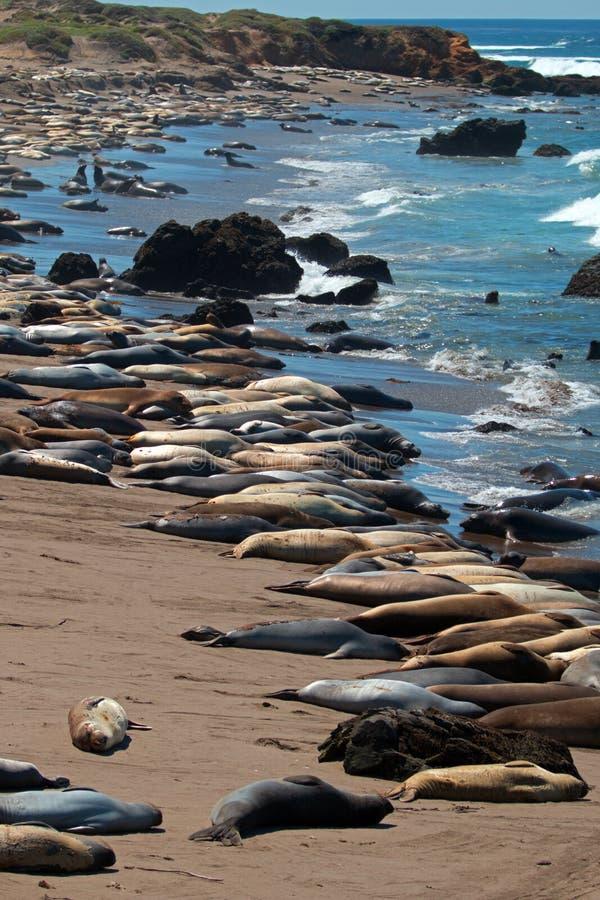 Colonia di foche dell'elefante a punto Piedras Blancas a nord di San Simeon sulla costa centrale di California fotografia stock libera da diritti