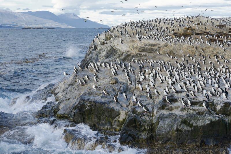 Colonia di re Cormorants e leoni marini sul DOS Passaros situato sul Manica del cane da lepre, Tierra Del Fuego di Ilha fotografie stock libere da diritti