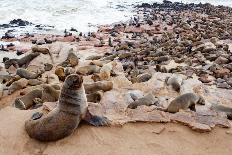 Colonia enorme del lobo marino de Brown - leones marinos en Namibia imágenes de archivo libres de regalías