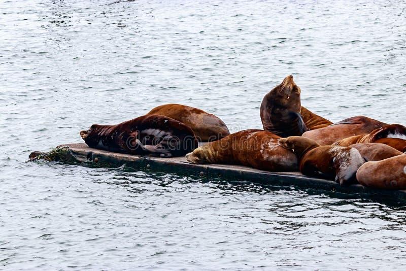 colonia grande de otarias que flotan en muelle sobre el Pacífico fotos de archivo