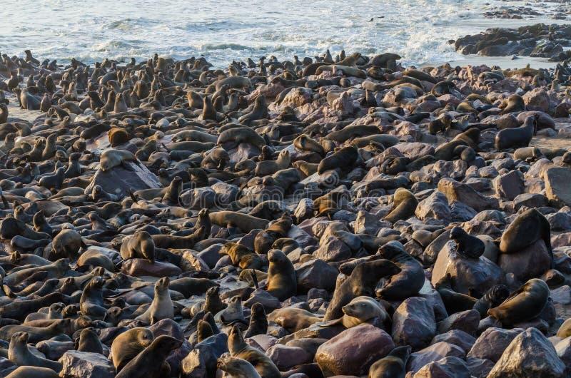 Colonia massiccia delle guarnizioni di pelliccia sudafricane all'incrocio del capo, Namibia, Africa meridionale immagini stock
