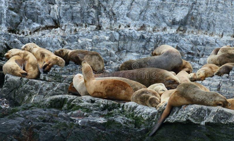 Colonia patagonian del leone marino, Manica del cane da lepre fotografie stock