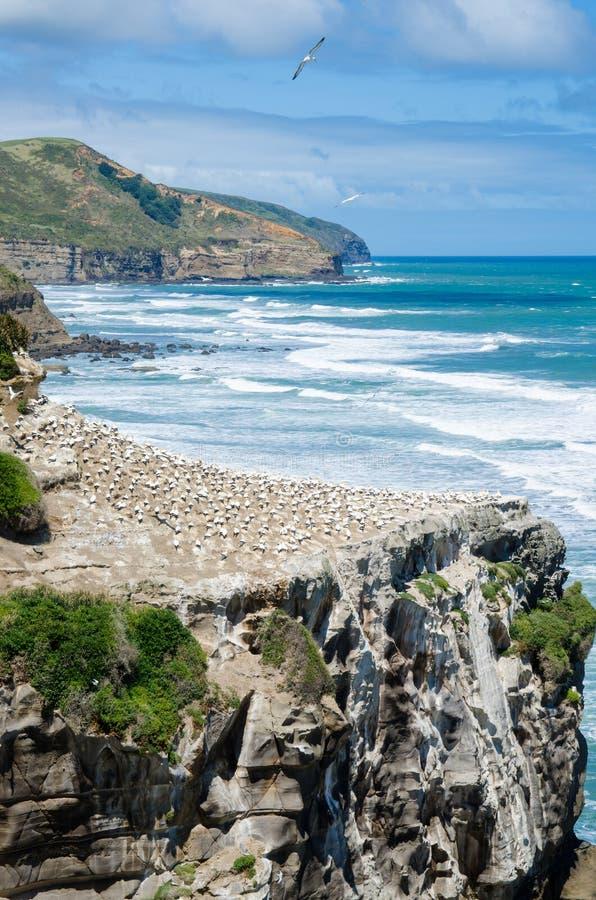 Colonia que está situada en el parque regional de Muriwai, Nueva Zelanda de Muriwai Gannet imagenes de archivo