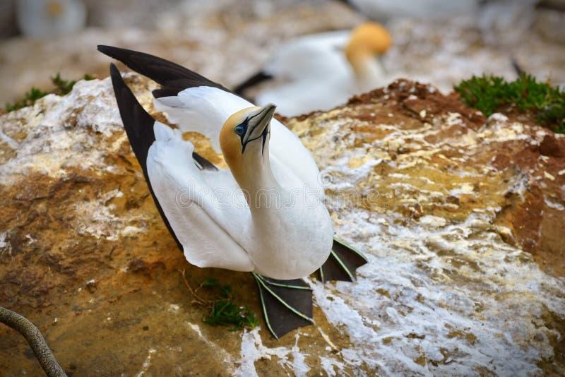 Colonia salvaje del gannet en la costa de Muriwai en Nueva Zelanda fotos de archivo