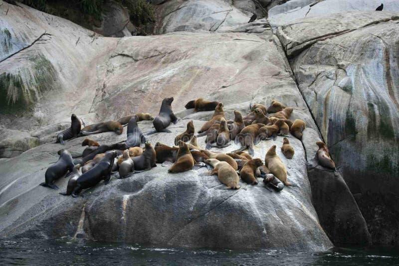 Colonia suramericana de los flavescens del Otaria del león marino en Chile meridional fotografía de archivo