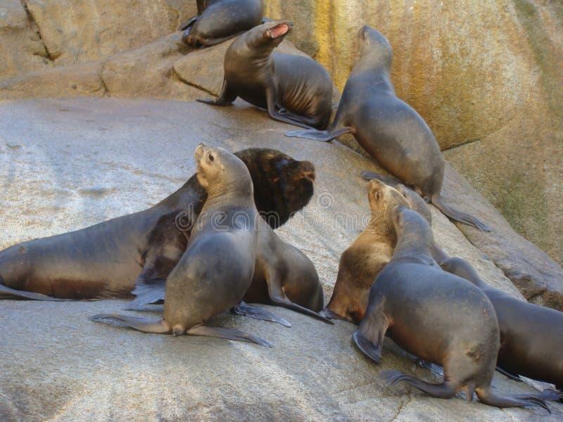 Colonia suramericana de los flavescens del Otaria del león marino en Chile meridional imagen de archivo