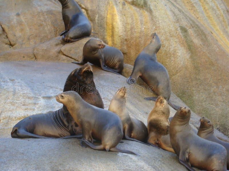 Colonia suramericana de los flavescens del Otaria del león marino en Chile meridional fotos de archivo libres de regalías