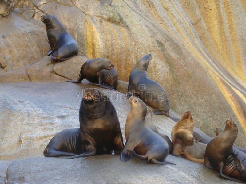 Colonia suramericana de los flavescens del Otaria del león marino en Chile meridional fotografía de archivo libre de regalías