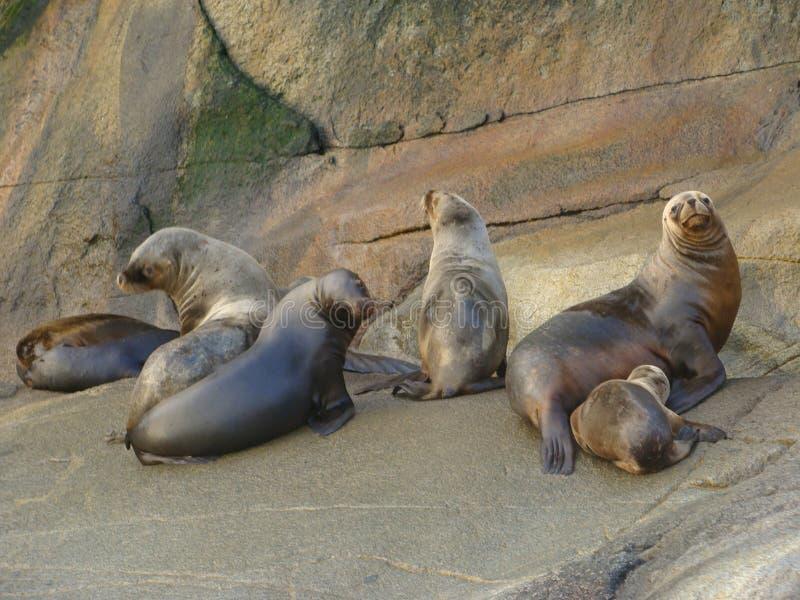 Colonia suramericana de los flavescens del Otaria del león marino en Chile meridional imagenes de archivo