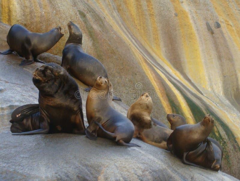 Colonia suramericana de los flavescens del Otaria del león marino en Chile meridional imágenes de archivo libres de regalías