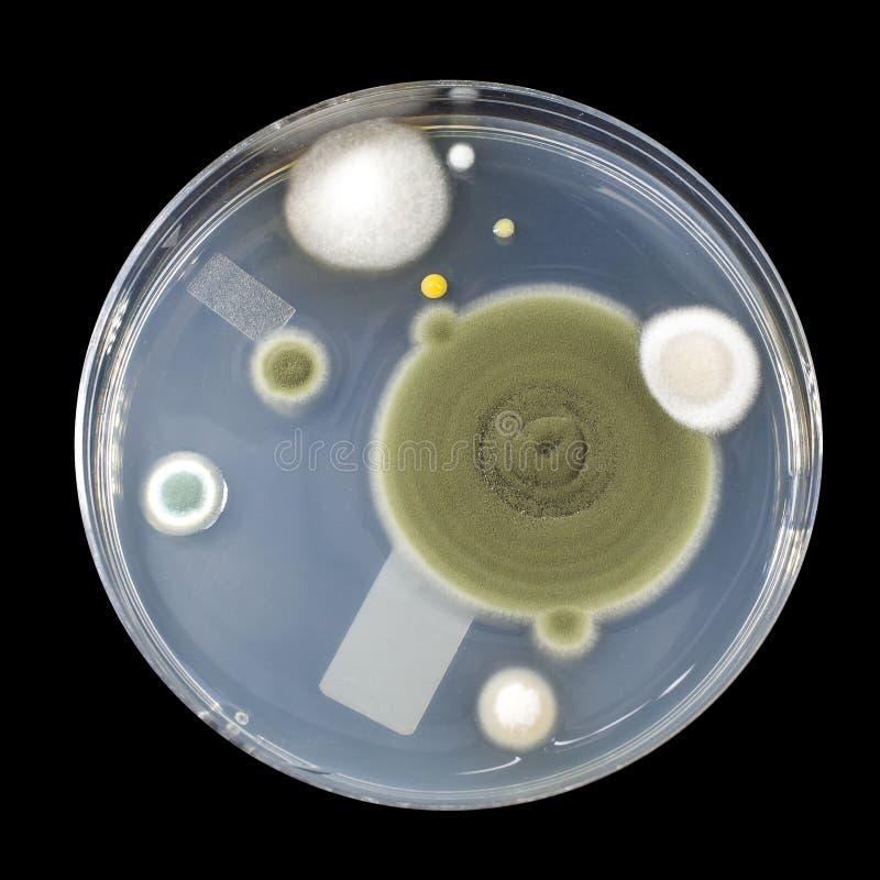 Colonias de hongos de molde cultivados del aire interior foto de archivo libre de regalías