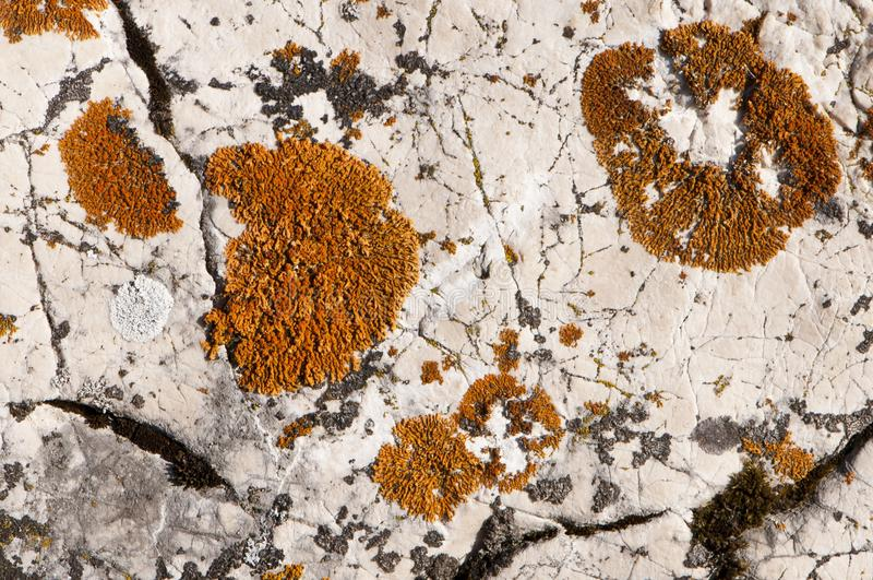 Colonie arancioni e bianche del fungo del muschio fotografia stock