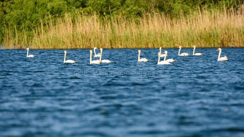 Colonie blanche de cygnes sur le lac de dans le delta de Danube, observation d'oiseau de faune de la Roumanie images stock