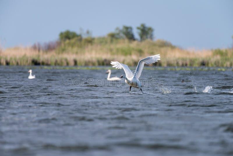 Colonie blanche de cygnes sur le lac de dans le delta de Danube, observation d'oiseau de faune de la Roumanie image stock