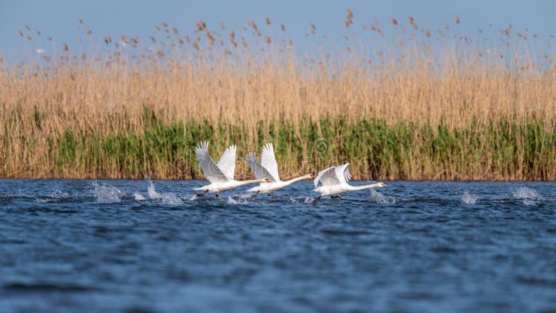 Colonie blanche de cygnes sur le lac de dans le delta de Danube, observation d'oiseau de faune de la Roumanie photographie stock