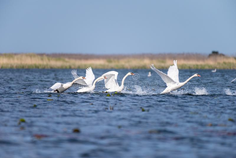 Colonie blanche de cygnes sur le lac de dans le delta de Danube, observation d'oiseau de faune de la Roumanie photos libres de droits