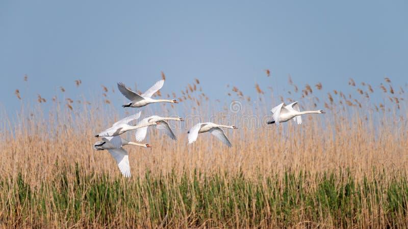 Colonie blanche de cygnes sur le lac de dans le delta de Danube, observation d'oiseau de faune de la Roumanie photo stock