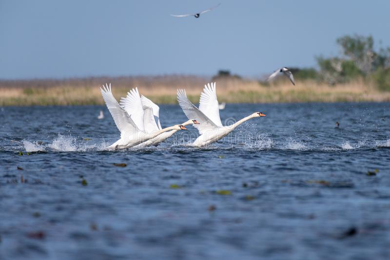 Colonie blanche de cygnes sur le lac de dans le delta de Danube, observation d'oiseau de faune de la Roumanie image libre de droits