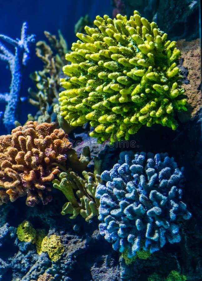 Colonie colorée des coraux pierreux, des beaux animaux de fond d'espèce marine, populaires et décoratifs de l'eau photos stock