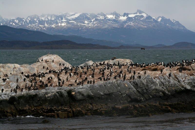 Colonie d'otarie de la Manche de briquet, Tierra del Fuego photo stock