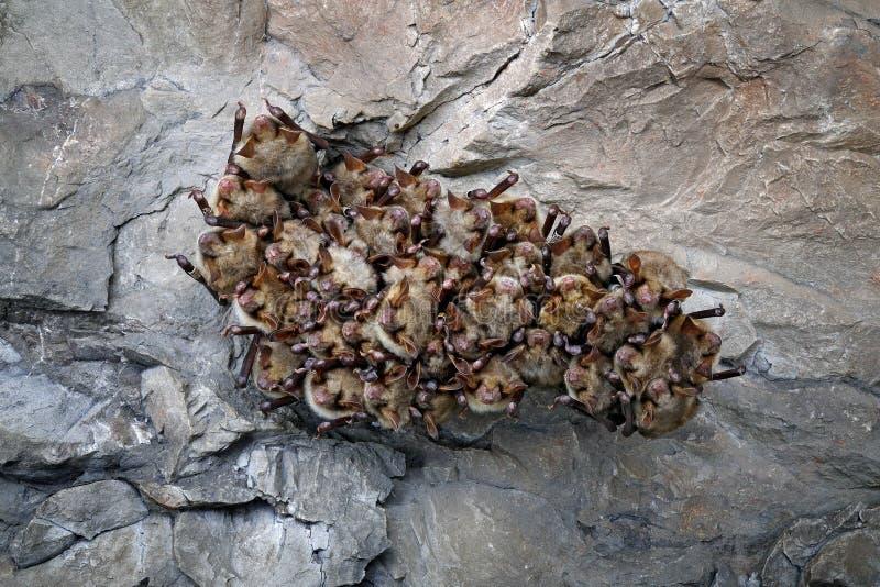 Colonie de batte en caverne Une plus grande chauve-souris souris-à oreilles, myotis de Myotis, dans l'habitat de caverne de natur image libre de droits