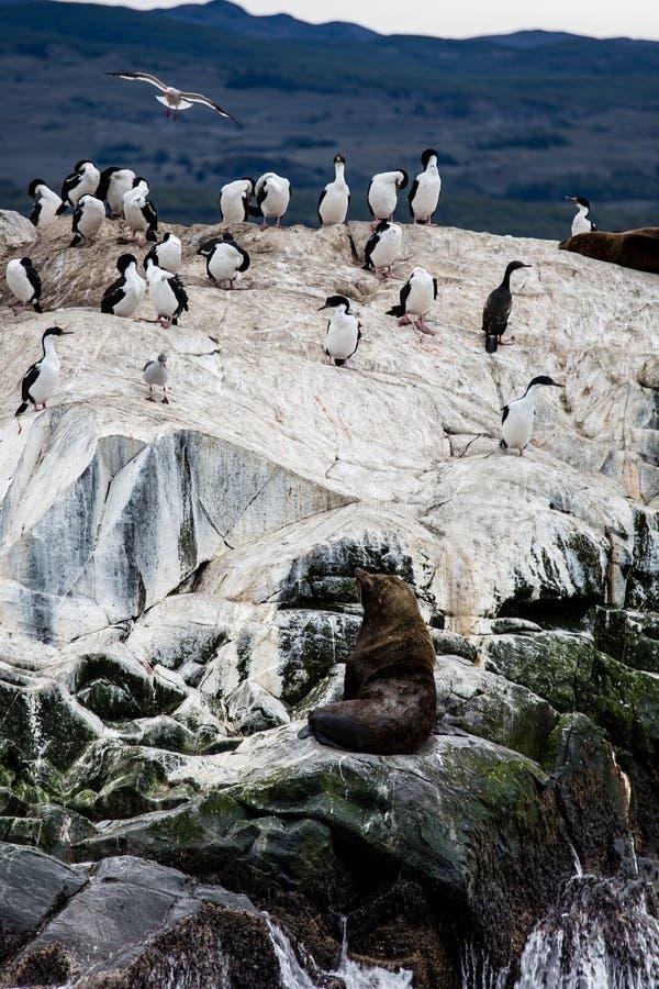 Colonie de Cormorant sur une île chez Ushuaia dans le détroit de briquet de la Manche de briquet, Tierra Del Fuego, Argentine photographie stock
