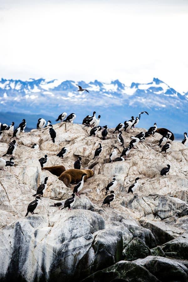 Colonie de Cormorant sur une île chez Ushuaia dans le détroit de briquet de la Manche de briquet, Tierra Del Fuego, Argentine photos stock