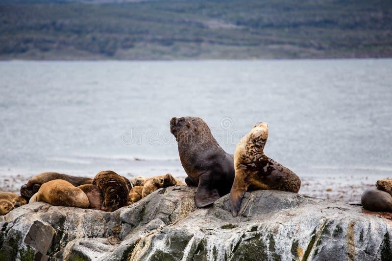 Colonie de Cormorant sur une île chez Ushuaia dans le détroit de briquet de la Manche de briquet, Tierra Del Fuego, Argentine images libres de droits
