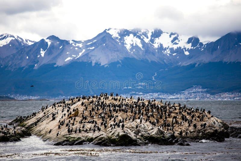 Colonie de Cormorant sur une île chez Ushuaia dans le détroit de briquet de la Manche de briquet, Tierra Del Fuego, Argentine image libre de droits