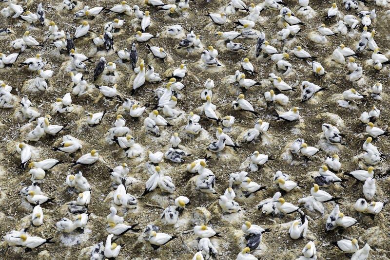 Colonie de fou de Bassan à la plage de Muriwai, Nouvelle-Zélande photo stock