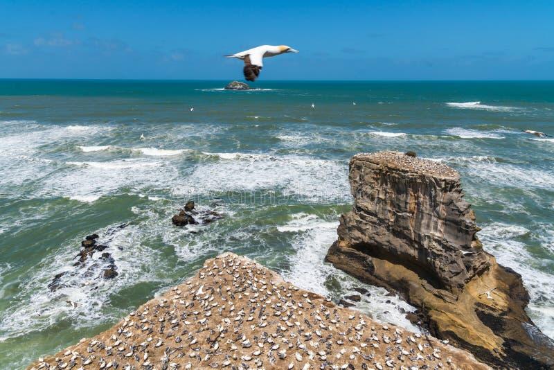 Colonie de fou de Bassan à la plage de Muriwai, Nouvelle-Zélande photos libres de droits