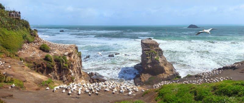 Colonie de fou de Bassan chez Muriwai près d'Auckland, Nouvelle-Zélande photos stock